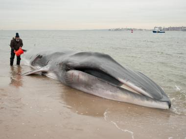 A whale approximately 30 feet long was found beached in Breezy Point near Beach 216th Street.