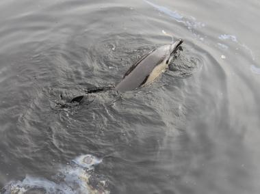Preliminary results from a necropy suggest that the dolphin was old, underfed, and chronically ill.