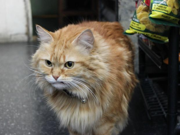 February, a bodega cat at 1107 First Ave.'s K & B Inc. Candy Store, attacks dogs,  sources say.