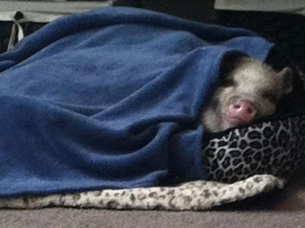 A Whitestone family is trying to save their pet pig Petey from the Health Department.