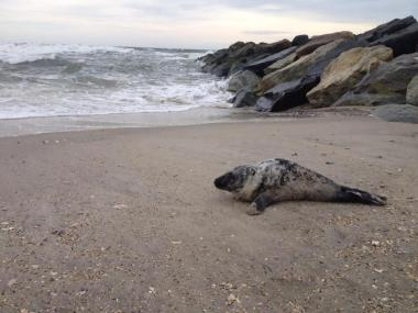 This seal was found in the Rockaways early on the morning of Feb. 19, 2013. It was the second time in as many days that a seal was found there.