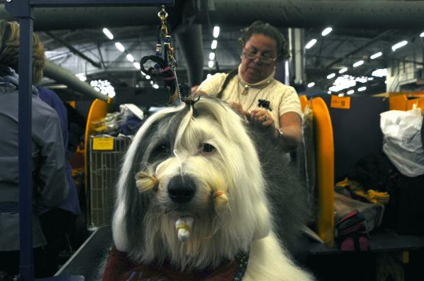 Thousands of dogs prepped for Westminster Kennel Club's 137th dog show on Monday afternoon.