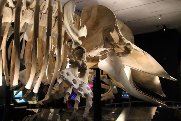 A new exhibit focusing on the gigantic mammals is opening this Saturday at the Museum of Natural History.