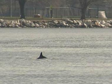 A dolphin was spotted in the East River near East 96th Street, March 13, 2013.