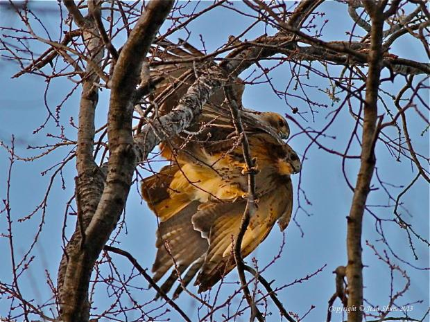 Birders believe Pale Male and his lady hawk have spawned a new generation of red-tailed hawks.