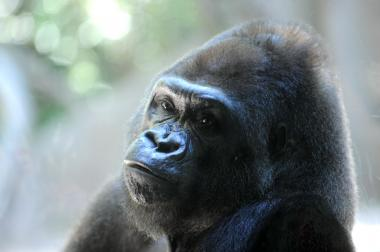 Pattycake, the first gorilla born in New York City, died at the Bronx Zoo on March 31, 2013.