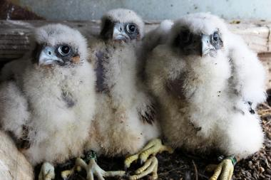 Chris Nadareski, a DEP scientist, inspected and banded six new peregrine falcon chicks on city bridges this year.