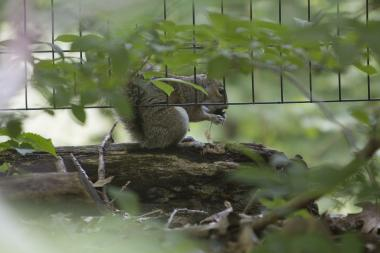 An agressive squirrel (not pictured) is on the loose in Prospect Park and has attacked five people since Friday.