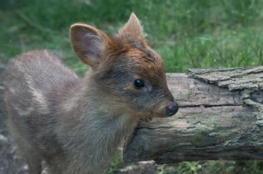 The southern pudu doe was born at the Queens Zoo.