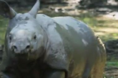 A baby rhinoceros born at the Bronx Zoo made her debut on July 26, 2013.