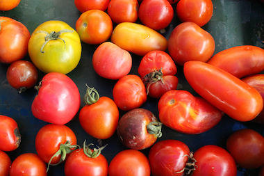 Heirloom tomato plants will be up for sale at this weekend's Prospect Heights Community Farm.
