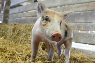 A pig recovered in an industrial area of Queens is now living on a reserve in the Finger Lakes region after he was found July 25, 2013.