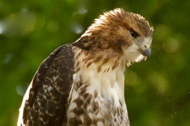 The babies are now several months old and are flying freely and feeding themselves, except for one that was injured last week, hawk watchers say.