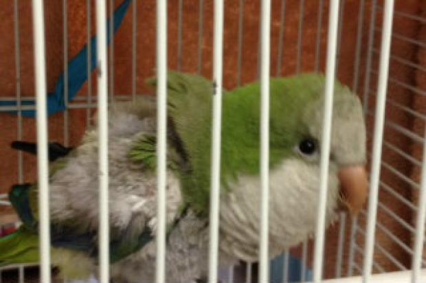 Cuca, the parrot stolen in a Tremont housing complex, has been recovered by cops in good health.