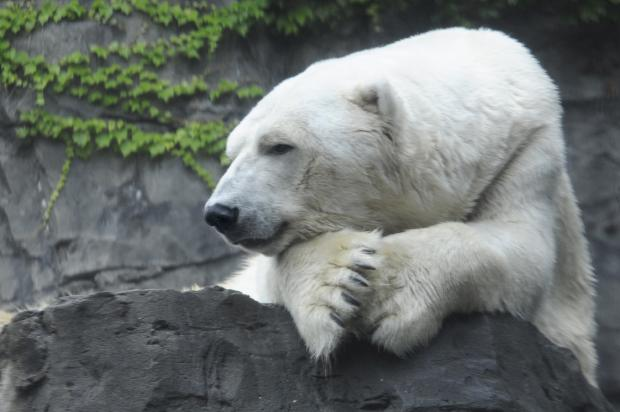 Gus, the Central Park Zoo polar bear, was euthanized Tuesday during surgery.
