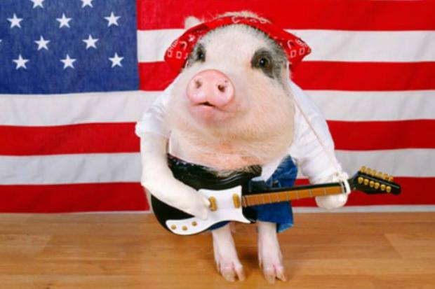 Queens Co-op Board Sues to Evict Pet Pig Named Petey - Whitestone