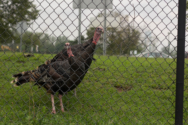 The USDA said the plan to cull the turkeys are still in effect, even after some were relocated.