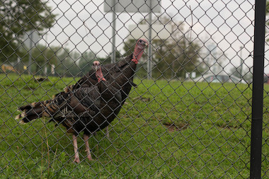 A group of Staten Island elected officials issued a public plea to find suitable spaces to relocate the flock of turkeys who live in Ocean Breeze.