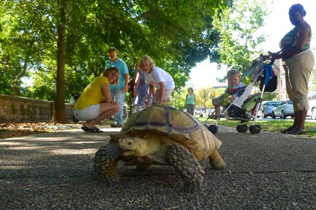 Goldie, a 51-year-old African desert tortoise, went for a stroll on Prospect Park West.