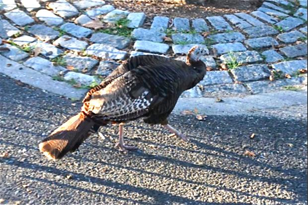Zelda the Turkey returns to Battery Park after her annual summer 'vacation.'