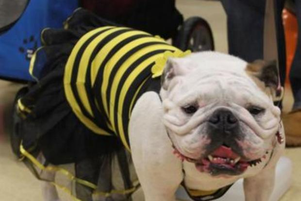 The costume party is for bulldogs and their owners on the Upper West Side.
