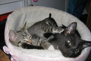 The two kittens found wandering the subway tracks in August need a home.
