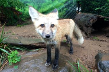 A seven-month-old red fox named Montana burrowed out of her enclosure in the Staten Island Zoo on Monday.