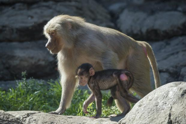 A couple of baby baboons joined the monkey house at Prospect Park Zoo, officials announced Monday.