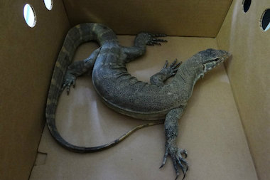 The Animal Care and Control has caught a monitor lizard, an albino cobra, a scorpion and many other rare and unsual animals so far this year.