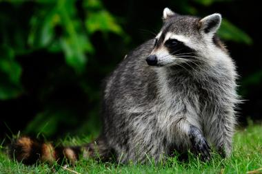 A pair of raccoons attempted to stage a hostile takeover of a Chinese restaurant in The Bronx.