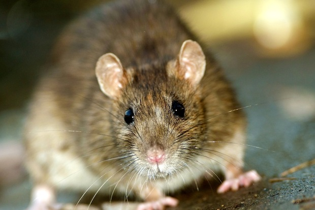 A Department of Health official said several spots in TriBeCa, including 403 Greenwich St., an empty lot that sits next to Wolfgang's Steakhouse, are suffering from rat infestations.