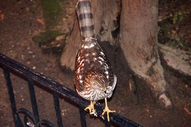A Cooper's hawk has been spotted in Rego Park.