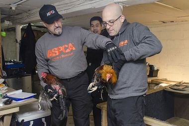 "More than 3,000 roosters were rescued during ""Operation Angry Bird."""