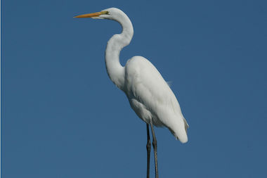 The Great Egret was among more than 1,600 protected birds shot to death by the Port Authority in the past five years, internal records show.