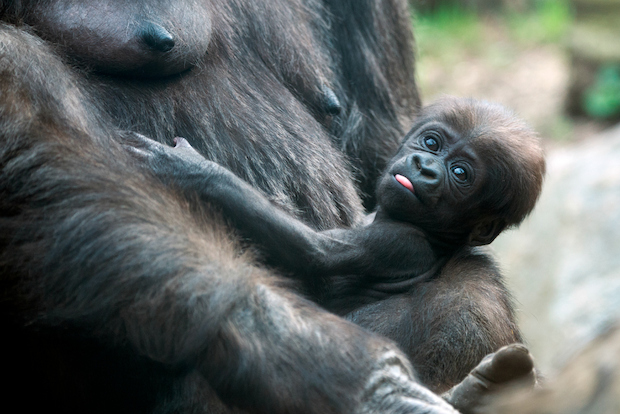 Two new western lowland gorillas were born over the last two months at the Bronx Zoo.