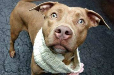 Penelope is a caramel brown pit bull mix who loves to wag her tail. She is petite for a pit bull and is well behaved when leashed. She would get along best with someone who enjoys taking her out on long walks around the neighborhood.