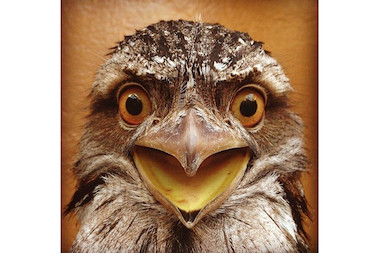 The Staten Island Zoo unveiled their latest addition, a Tawny Frogmouth bird, on Thursday, April 17, 2014.