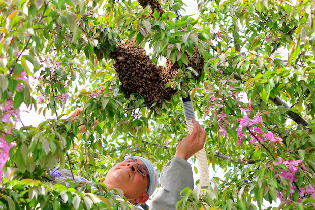 Anthony Planakis, the NYPD's resident bee-catcher, estimates there were between 30,000 to 36,000 bees.