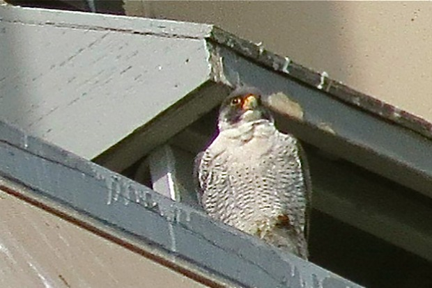 A pair of falcons have returned to a longtime nest at 55 Water St.