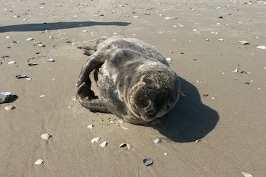 The gray seal swam onto the beach on Monday.