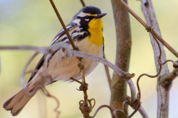 Hundreds of species of birds will make their way through New York City during May as they travel north.