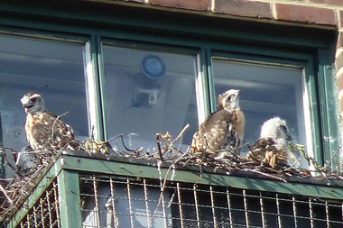 Three red-tailed hawk chicks are getting ready to leave a nest built on a seventh-floor air conditioner at the Christodora House near Tompkins Square Park.