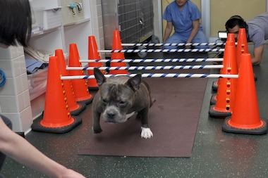 Chuck, a young pit bull, was brought to the ASPCA with severe joint disease.
