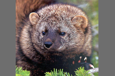 Fishers are dark, long-haired, large members of the weasel family, according to DEC.