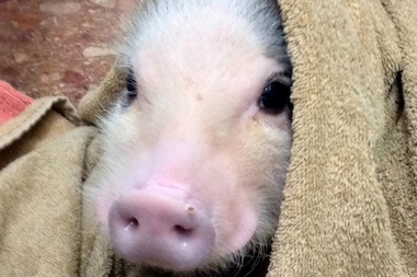 Piggie Smalls, the Micro Pot-Bellied pig, recently joined the Brooklyn Cares Vet team in Clinton Hill.