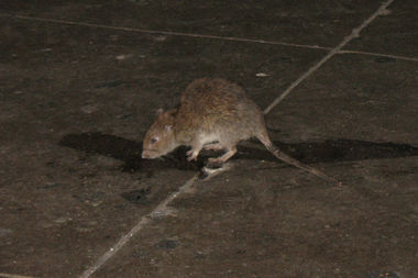 Rat sightings are down because of a program that indexes rat populations in Manhattan and The Bronx, according to a Health Department report.