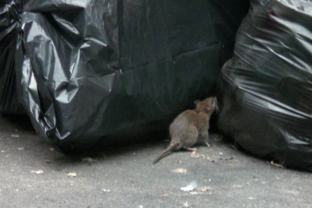 How To Fight a Rat Infestation on Your Block - Upper West