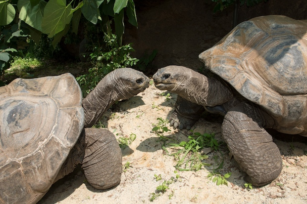 A pair of gigantic Aldabra tortoises have moved into the Bronx Zoo.