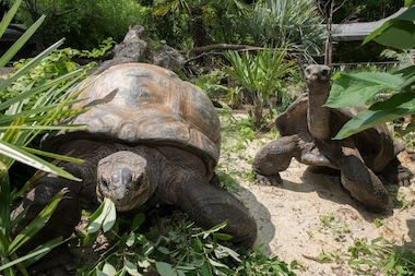 Aldabra tortoises (pictured here) can live more than 200 years.
