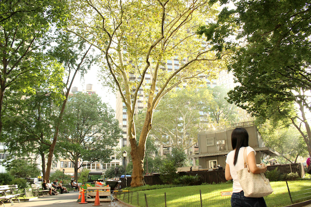Plans for the rehabilitation of the flagship Shake Shack in Madison Square Park indicate that construction will likely damage one of the nicest and largest trees in the park.